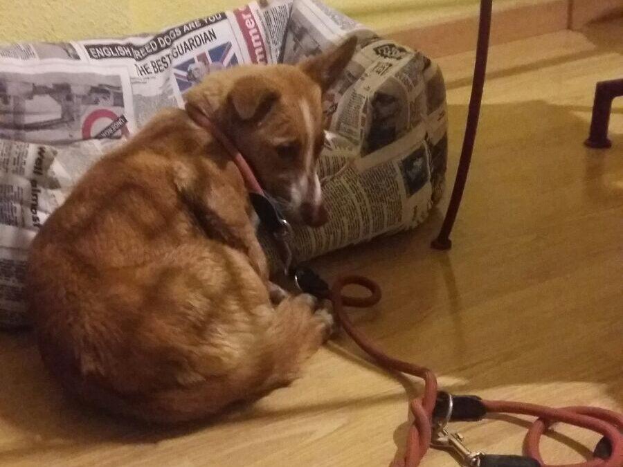 Cosas a pensar antes de adoptar un perro