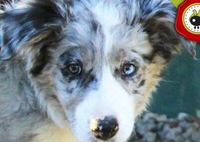 Artzai de Angel Suarez, graduado curso de obediencia básica canina intensivo en Escuela Canina La Tejera