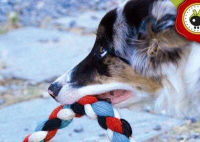 Boss de Aurora Moraga, graduado curso de obediencia básica canina intensivo en Escuela Canina La Tejera