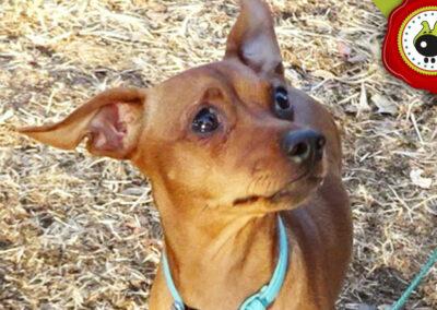 COOPER graduado curso de obediencia básica canina intensivo en Escuela Canina La Tejera
