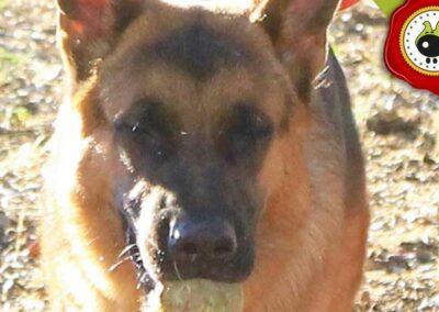 Maximo de Manuela Sanz, graduado curso de obediencia básica canina intensivo en Escuela Canina La Tejera