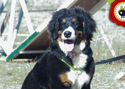 Pacha, graduado curso de obediencia canina básica  en Escuela Canina La Tejera