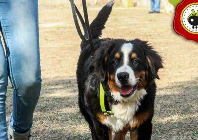 Pacho, graduado curso de obediencia canina básica  en Escuela Canina La Tejera
