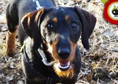 ROMEO graduado curso de obediencia básica canina intensivo en Escuela Canina La Tejera