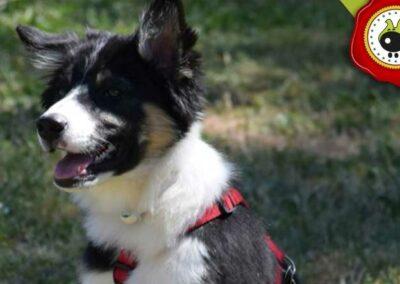 Ron, graduado curso de obediencia canina básica  en Escuela Canina La Tejera