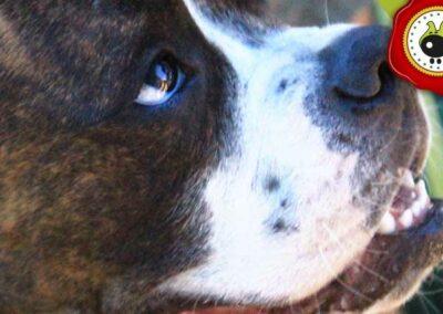 Suka de Eduardo Garcia, graduado curso de obediencia básica canina intensivo en Escuela Canina La Tejera