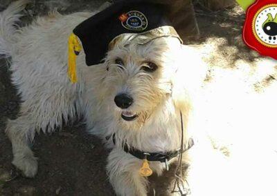 Tabu, graduado curso de obediencia canina básica  en Escuela Canina La Tejera