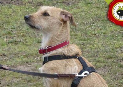 Tino, graduado curso de obediencia canina básica  en Escuela Canina La Tejera
