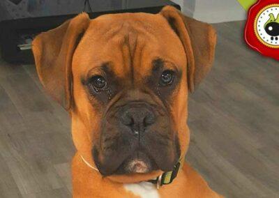 Beto, graduado curso de obediencia básica canina intensivo en Escuela Canina La Tejera