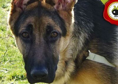 Blue, graduado curso de obediencia canina básica  en Escuela Canina La Tejera