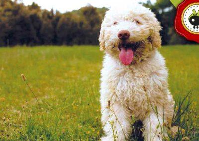 Coco de Blanca Rodriguez, graduado curso de obediencia básica canina intensivo en Escuela Canina La Tejera