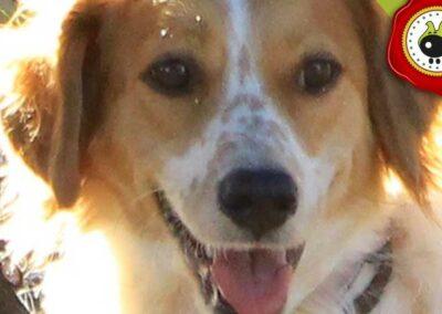 Ginjer de Jose Manuel Morales, graduado curso de obediencia básica canina intensivo en Escuela Canina La Tejera