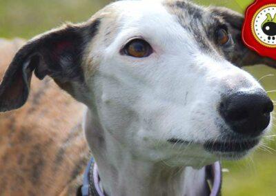 Kiowa, graduado curso de obediencia canina básica  en Escuela Canina La Tejera