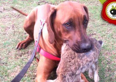 Leo, graduado curso de obediencia básica canina intensivo en Escuela Canina La Tejera