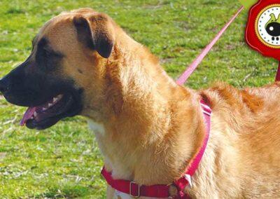 Penny, graduado curso de obediencia canina básica  en Escuela Canina La Tejera