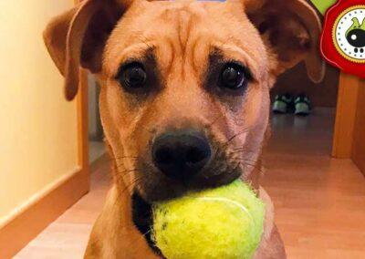 Roger, graduado curso de obediencia básica canina intensivo en Escuela Canina La Tejera