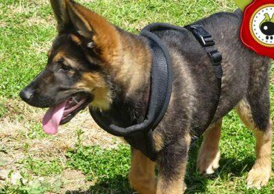 Yako, graduado curso de obediencia canina básica  en Escuela Canina La Tejera