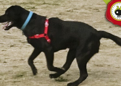 Athos. uno de los graduados en el curso de obediencia canina de la escuela canina La Tejera en Galapagar en diciembre de 2017