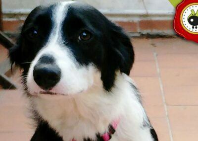 Bornova. uno de los graduados en el curso de obediencia canina de la escuela canina La Tejera en Galapagar en diciembre de 2017