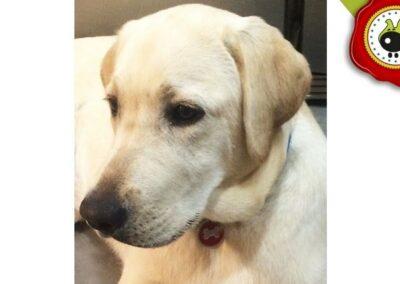 Kira. uno de los graduados en el curso de obediencia canina de la escuela canina La Tejera en Galapagar en diciembre de 2017