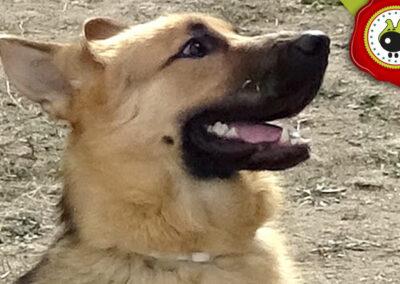 Thor. uno de los graduados en el curso de obediencia canina de la escuela canina La Tejera en Galapagar en diciembre de 2017