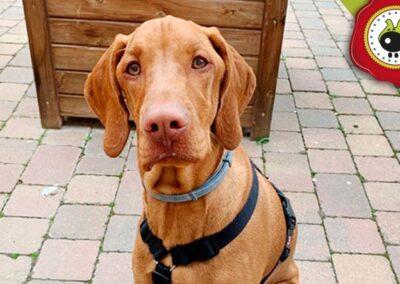 Buddy, graduado curso de obediencia canina básica en Escuela Canina La Tejera