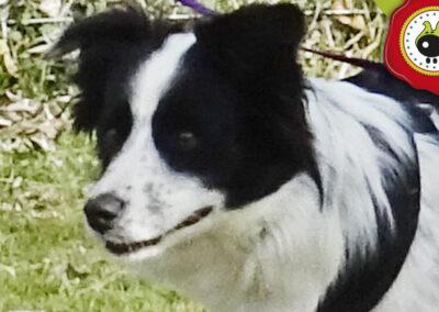 Marlin, graduado curso de obediencia canina básica en Escuela Canina La Tejera