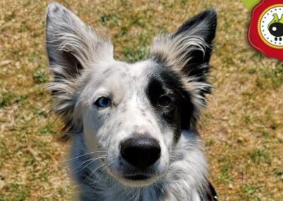 Pollock, graduado curso de obediencia canina básica en La Escuela Canina La Tejera