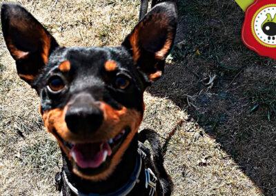 Rayo, graduado curso de obediencia canina básica en La Escuela Canina La Tejera