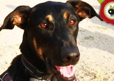 Celer, graduado curso de obediencia canina básica, Las Rozas