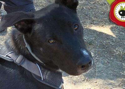 Thor, graduado curso de obediencia canina básica en La Escuela Canina La Tejera