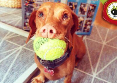 Matilda, graduada curso de obediencia canina básica, Las Rozas.
