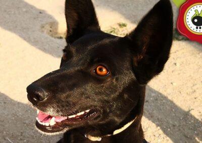 Tula, graduada curso de obediencia canina básica, Las Rozas