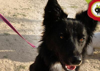 Rya, graduada curso de obediencia canina básica, Las Rozas.