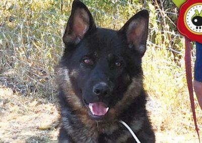 Max, graduado curso de obediencia canina básica en La Escuela Canina La Tejera
