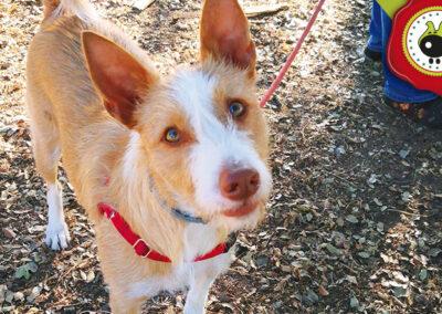 Lola, graduada curso intensivo de obediencia canina básica en La Escuela Canina La Tejera