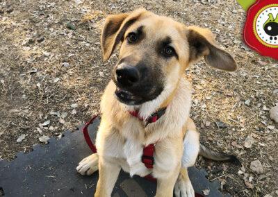 Lolo, graduado curso intensivo de obediencia canina básica en La Escuela Canina La Tejera
