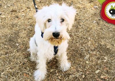Lucky, graduado curso intensivo de obediencia canina básica en La Escuela Canina La Tejera