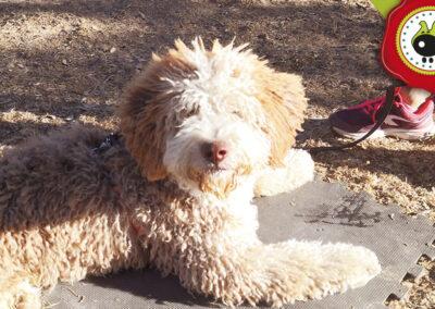 Timon, graduado curso intensivo de obediencia canina básica en La Escuela Canina La Tejera