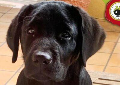 Coco, graduado curso de obediencia canina básica en La Escuela Canina La Tejera