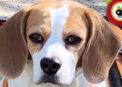 Laika, graduada curso de obediencia canina básica en La Escuela Canina La Tejera
