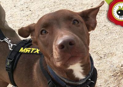 Frida, graduada curso de obediencia canina básica, Las Rozas.