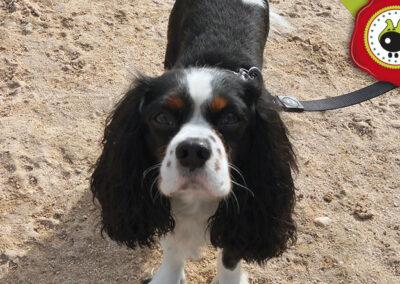 Koko, graduado curso de obediencia canina básica, Las Rozas.
