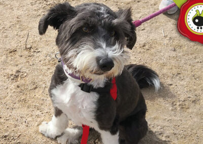 Lola, graduada curso de obediencia canina básica, Las Rozas.