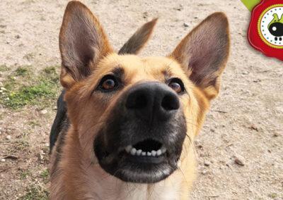 Nala, graduada curso de obediencia canina básica, Las Rozas.