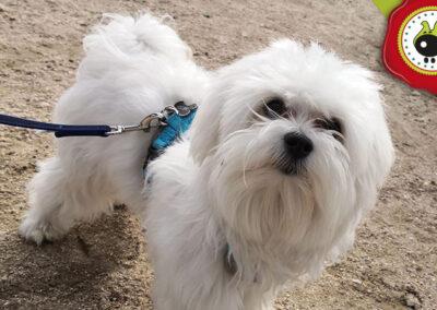Ness, graduado curso de obediencia canina básica, Las Rozas.
